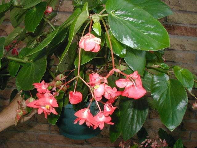 Begonia 'Christmas Candy'