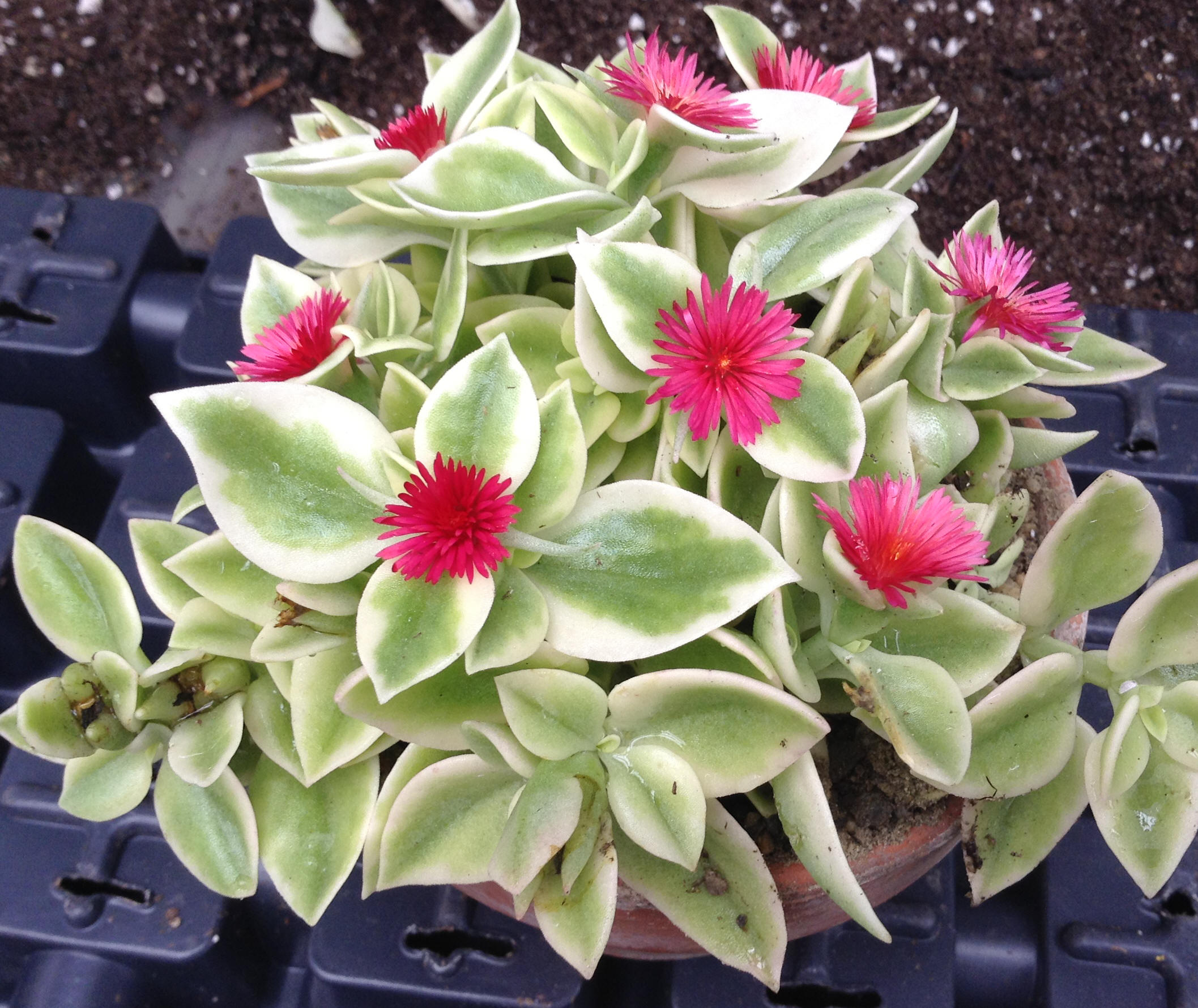 Variegated Baby Sunrose, also called variegated red apple (Aptenia cordifolia 'Variegata')
