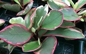 Baby Rubber Plant Peperomia Obtusifolia Tricolor Buy