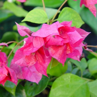Bougainvillea 'Double Red'