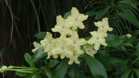 Queen of the Night - Brunfelsia nitida