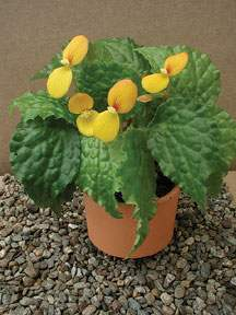 Begonia 'Buttercup'