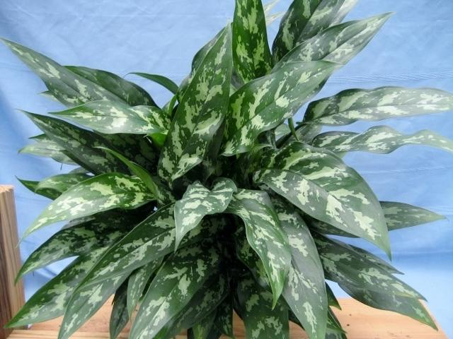 Chinese evergreen Maria