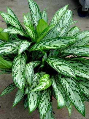 Chinese evergreen silver queen
