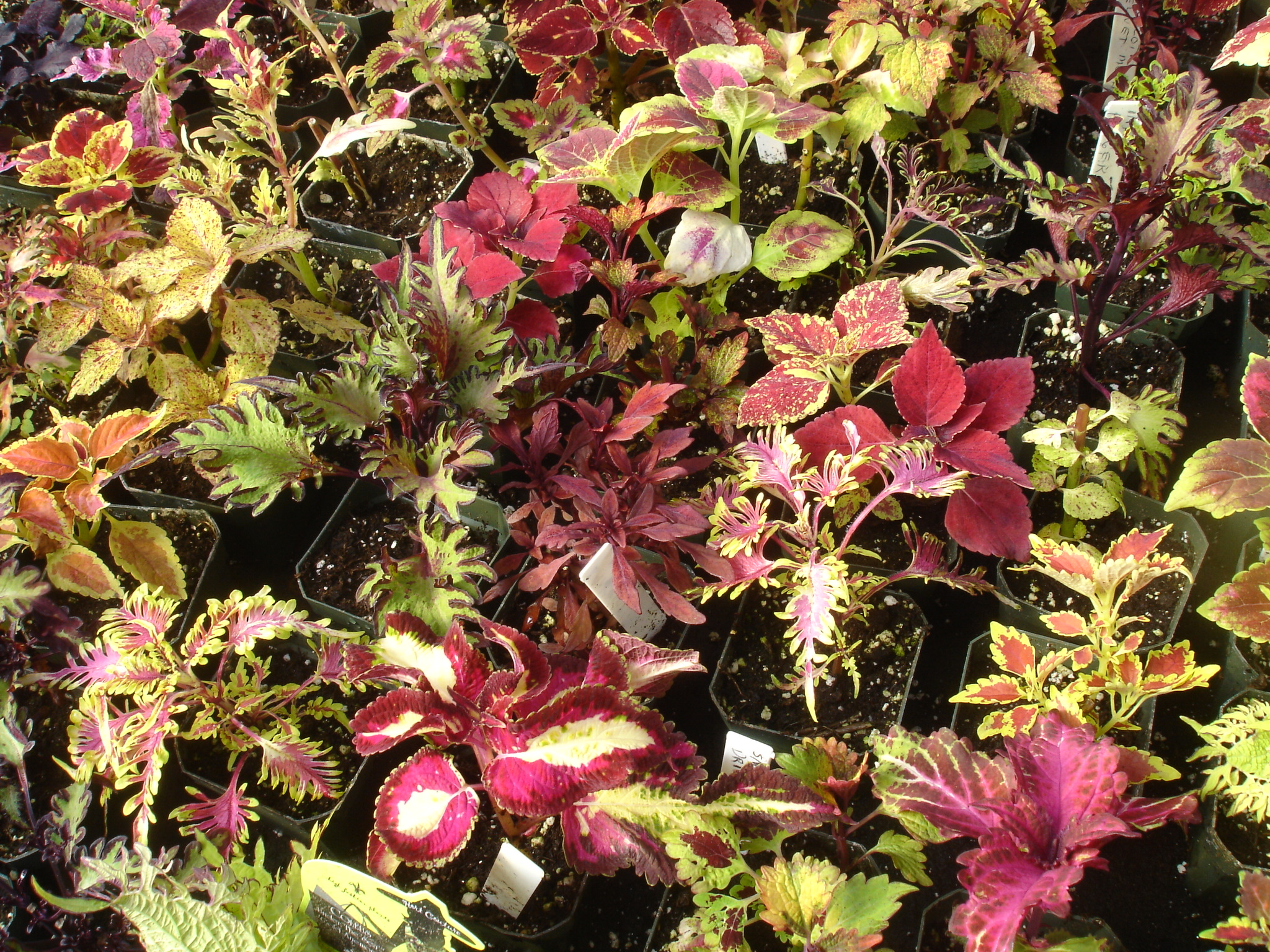 Colorful Coleus Collection