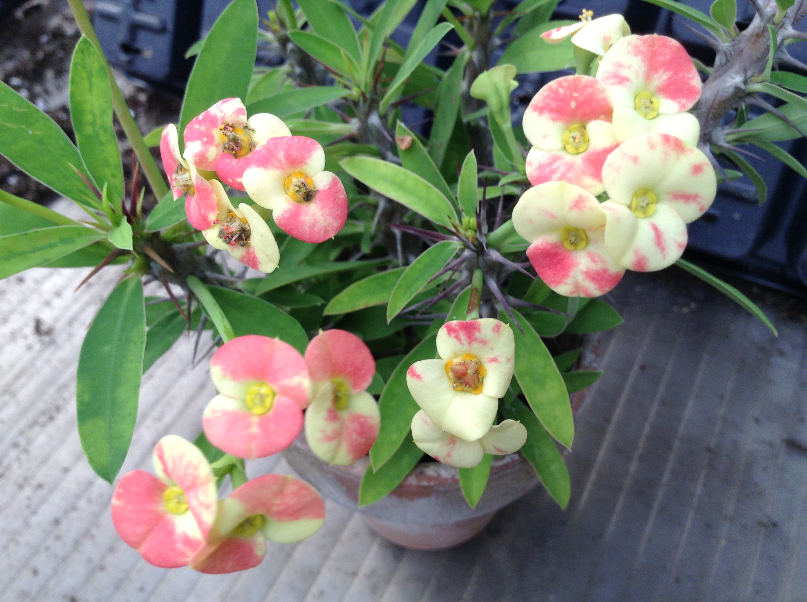 Crown of Thorns 'Cotton Candy'
