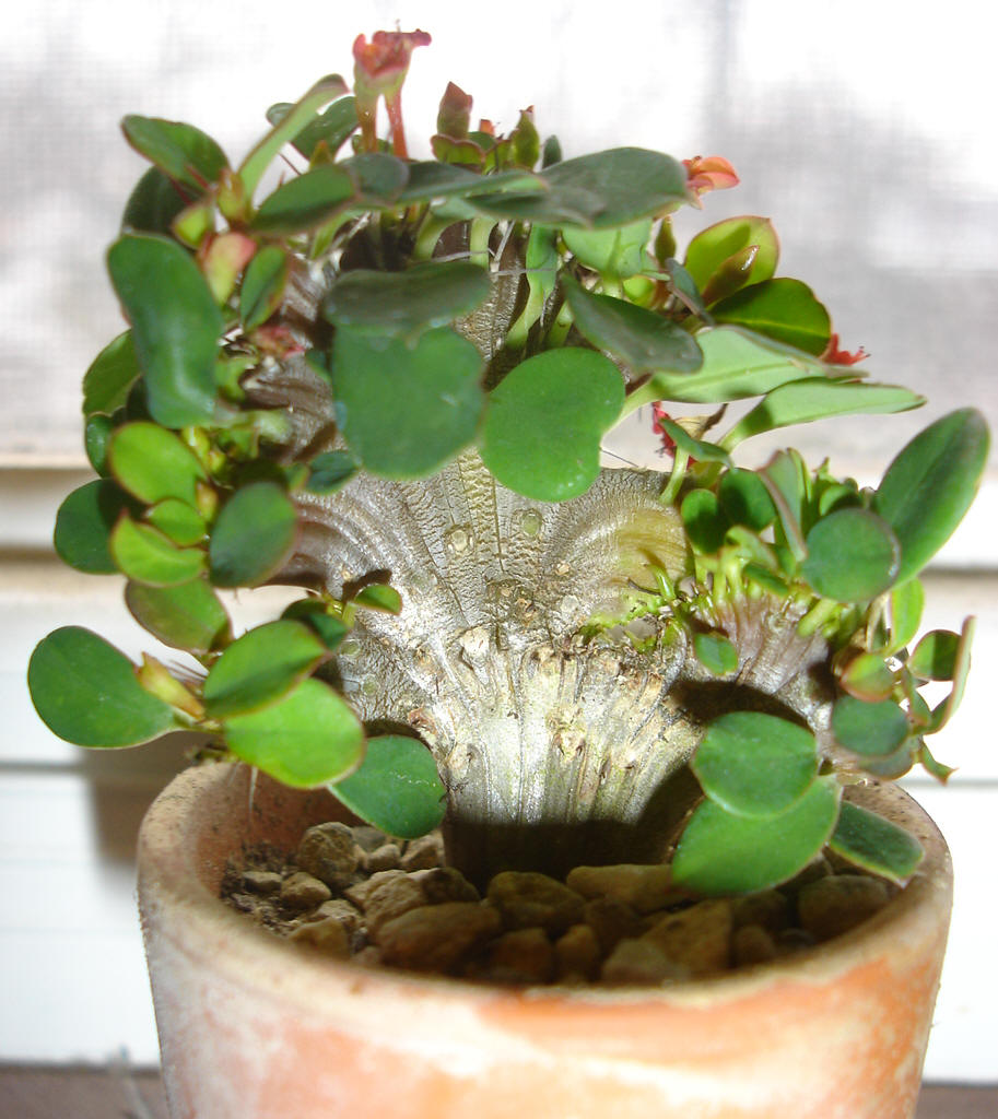Crested Crown of Thorns (Euphorbia milii bosseri crest)