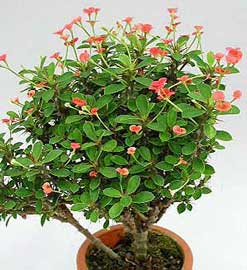 Crown of Thorns, Euphorbia milii