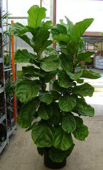 Fiddleleaf Fig (Ficus lyrata)