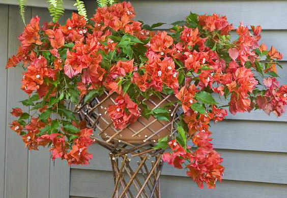 Bougainvillea 'Firecracker Red'