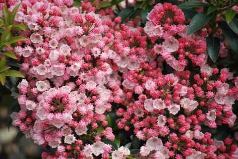Mountain Laurel 'Tiddlywinks'