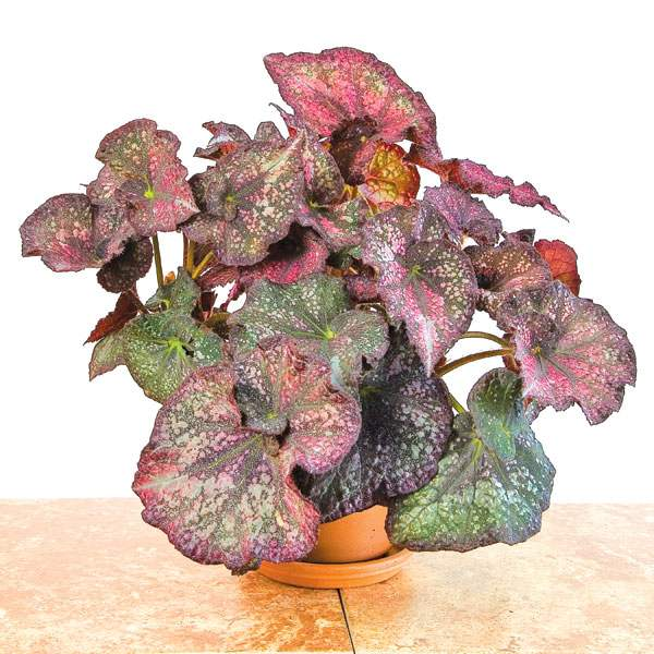 Begonia 'Purple Curly Stardust'