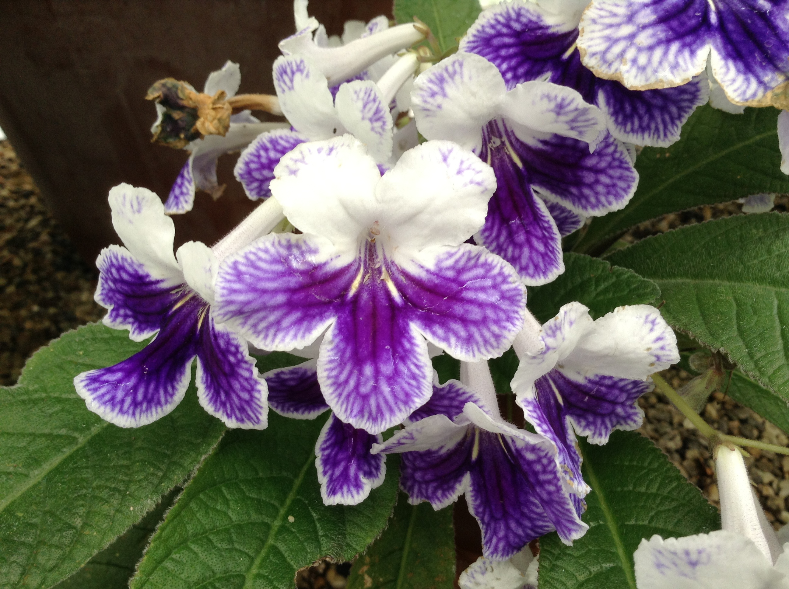 Cape Primrose 'Purple Panda'