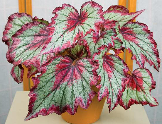 Begonia 'Ring of Fire'