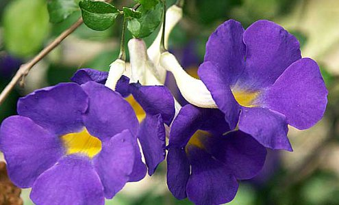 King's Mantle, also known as bush clockvine (Thunbergia erecta)