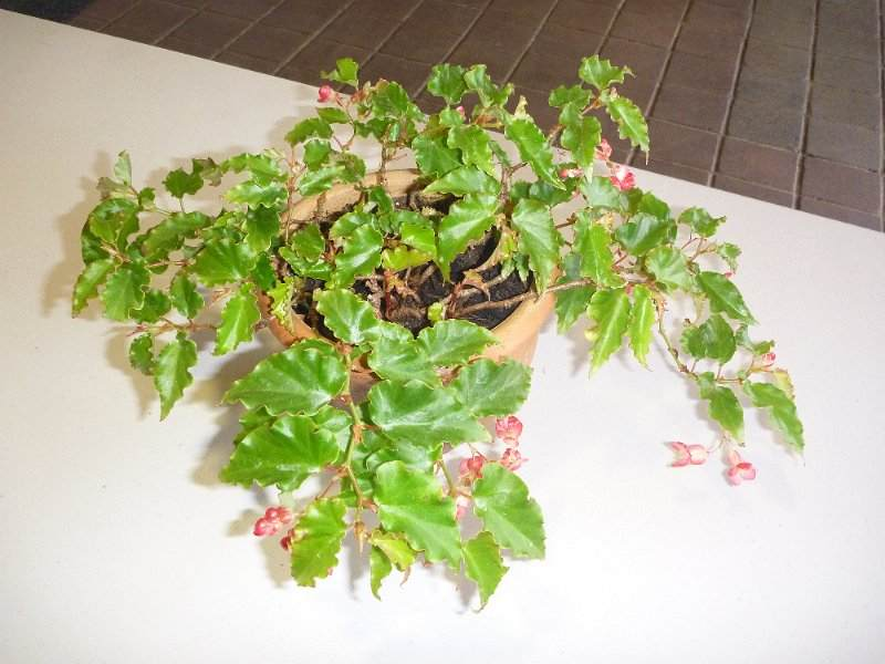 Begonia 'Tiny Gem'