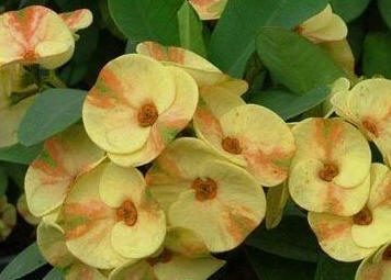 Crown of thorns 'Yellow Delight'